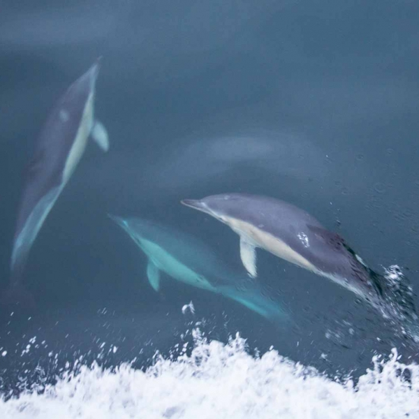 tressaran_dolphins